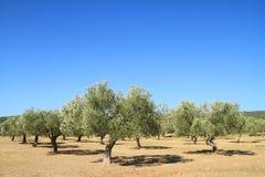 Bosque verde-oliva em Grécia Imagens de Stock