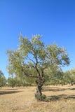 Bosque verde-oliva em Grécia Foto de Stock