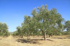 Bosque verde-oliva em Grécia Imagens de Stock Royalty Free