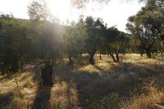 Bosque verde-oliva em greece Imagens de Stock