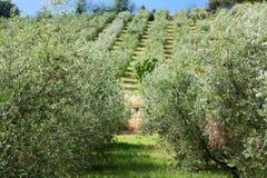 Bosque verde-oliva em Italy central imagem de stock