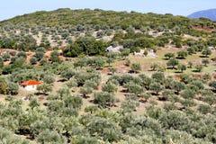 Bosque verde-oliva em Kalamata, Grécia imagens de stock royalty free
