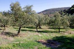 Bosque verde-oliva em Kalamata, Grécia imagens de stock
