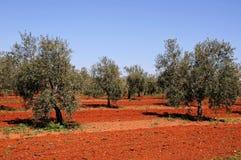 Bosque verde-oliva, Fuente del Piedra. fotos de stock
