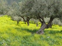 Bosque verde-oliva na mola Fotografia de Stock Royalty Free