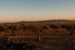 Bosque verde-oliva na noite no por do sol Fotografia de Stock Royalty Free