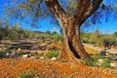 Bosque verde-oliva, paisagem típica na Espanha foto de stock