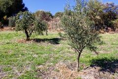 Bosque verde-oliva região em Messinia montanhoso, Peloponnese, Grécia foto de stock royalty free