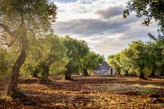 """Bosque verde-oliva velho no por do sol no †""""Itália de Puglia Apulia Foto de Stock"""