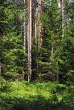 Bosque vertical - matorrales densos de pinos Fotos de archivo libres de regalías