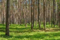 Bosque vibrante del pino spruce Fotografía de archivo