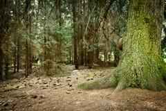 Bosque viejo brumoso con el cono Fotos de archivo libres de regalías