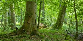 Bosque viejo con deadwood Fotos de archivo libres de regalías