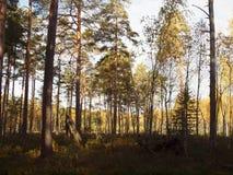 Bosque viejo del otoño contra el cielo azul Fotografía de archivo