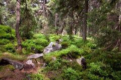 Bosque viejo en la montaña - árboles de las piedras, del musgo y de pino fotos de archivo libres de regalías