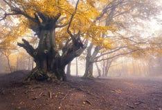 Bosque viejo oscuro misterioso en niebla Mañana del otoño en Crimea Fotografía de archivo