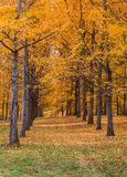 Bosque Virginia State Arboretum da nogueira-do-Japão fotos de stock royalty free