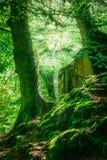Bosque y árboles de la montaña con el musgo en luz mágica Imagen de archivo libre de regalías