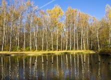Bosque y agua del abedul del otoño Fotografía de archivo