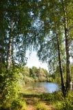 Bosque y charca del abedul en Siberia en el verano Foto de archivo libre de regalías