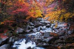 Bosque y corriente de oro de la caída Fotografía de archivo libre de regalías