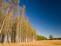 Bosque y pequeño pino-árbol Imagen de archivo libre de regalías