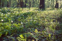 Bosque y snowdrops hermosos, claro de la primavera Bosque salvaje en el día hermoso fotografía de archivo