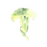 Bosquejo botánico del ejemplo de la acuarela del bróculi aislado en el fondo blanco ilustración del vector
