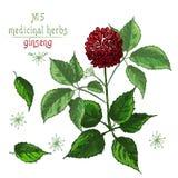 Bosquejo botánico realista del color de la raíz, de las flores y de las bayas del ginseng aisladas en blanco colección floral de  stock de ilustración