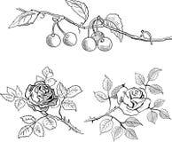 Bosquejo de cerezas en una rama y de rosas Foto de archivo libre de regalías