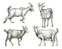 Bosquejo de la cabra dibujado a mano ganado pasto animal libre illustration