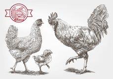 Bosquejo de la cría-gallina Imagen de archivo libre de regalías