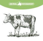 Bosquejo de la vaca dibujado a mano ganado ganados pasto animal stock de ilustración