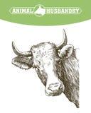 Bosquejo de la vaca dibujado a mano ganado ganados pasto animal ilustración del vector