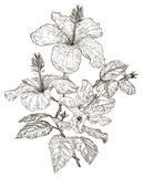 Bosquejo de las flores del hibisco Fotografía de archivo libre de regalías