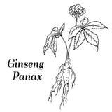 Bosquejo de panax del ginseng Foto de archivo
