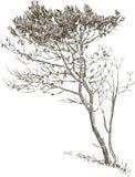 Bosquejo de un árbol de pino Fotos de archivo