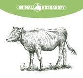 Bosquejo del becerro dibujado a mano ganado ganados pasto animal ilustración del vector