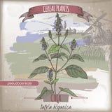 Bosquejo del color del chia del hispanica de Salvia aka El cereal planta la colección stock de ilustración