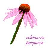 Bosquejo del VECTOR del purpurea del Echinacea Ilustración drenada mano Flor Imagen de archivo