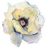 Bosquejo dibujado mano de la pintura de la flor de la acuarela amapola hermosa de la acuarela en el fondo blanco Imagen de archivo libre de regalías