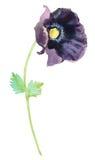 Bosquejo dibujado mano de la pintura de la flor de la acuarela amapola hermosa de la acuarela en el fondo blanco Imágenes de archivo libres de regalías