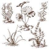 Bosquejo dibujado mano de las algas ilustración del vector