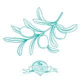 Bosquejo dibujado mano del esquema de la aceituna (estilo plano, línea fina) Fotos de archivo libres de regalías