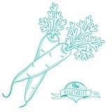 Bosquejo dibujado mano del esquema de las zanahorias (estilo plano, línea fina) Imágenes de archivo libres de regalías