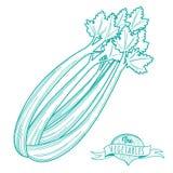 Bosquejo dibujado mano del esquema del apio (estilo plano, línea fina) Fotografía de archivo