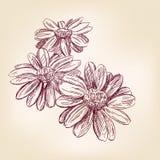 Bosquejo dibujado mano del vector de la margarita Fotografía de archivo libre de regalías