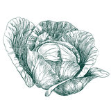 Bosquejo dibujado mano vegetal del llustration del vector de la col Foto de archivo