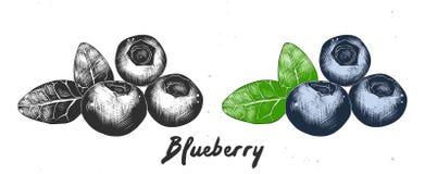 Bosquejo exhausto de la mano del arándano en monocromático y colorido Dibujo detallado de la comida que graba al agua fuerte stock de ilustración