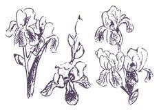 Bosquejo exhausto de la mano del vector del ejemplo de la flor del iris en el fondo blanco stock de ilustración